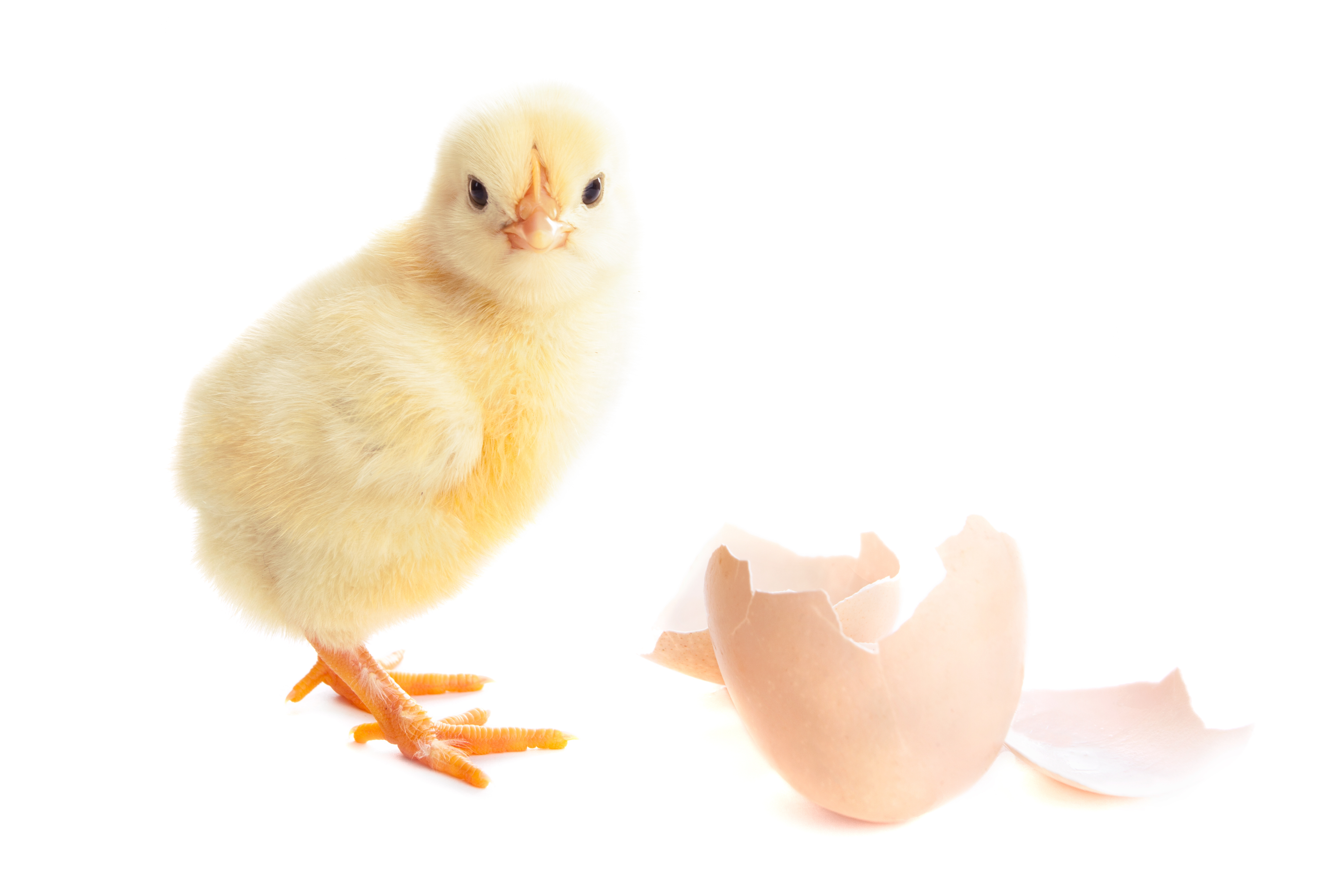 Why are we unable to sex our heritage chicks?
